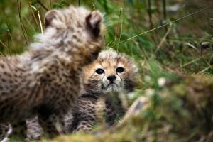 2011-08-21_-_Chester_Zoo_Cheetah_Cubs